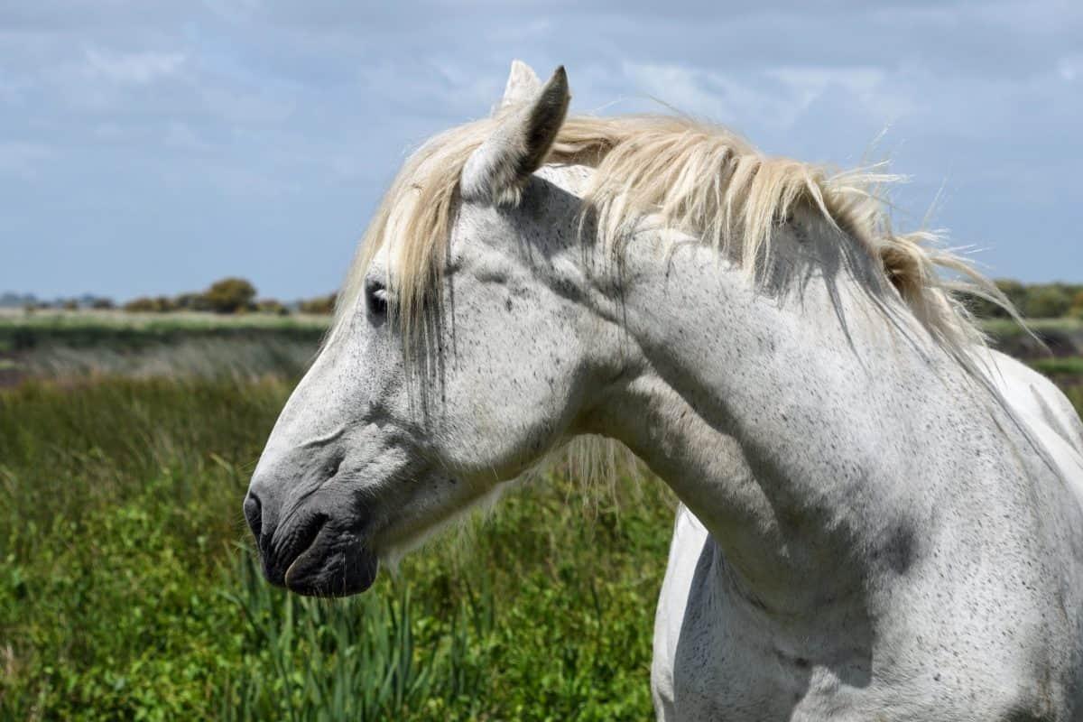 grass, nature, equine, white horse, stallion, cavalry, field, animal