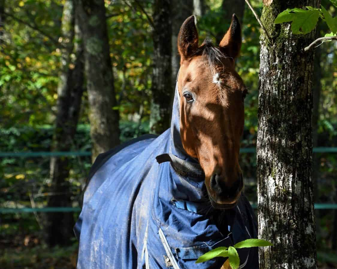 horse, forest, cavalry, nature, tree, outdoor, animal