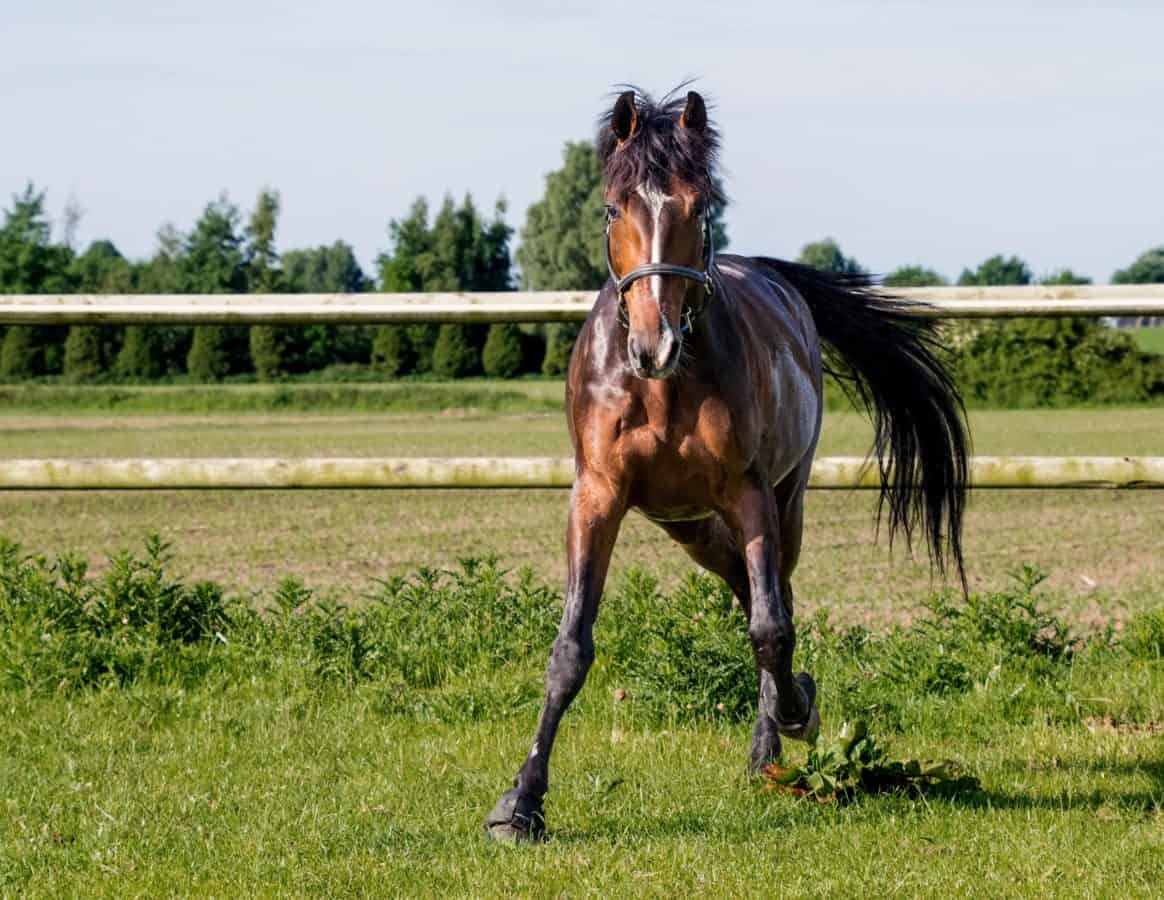 stallion, gallop, horse, mare, cavalry, grass, fence