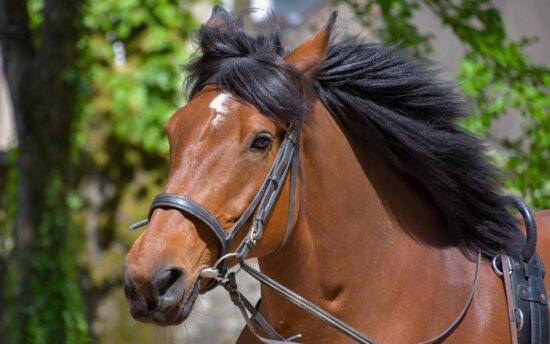 cavalry, horse, head, animal, brown, belt, wood