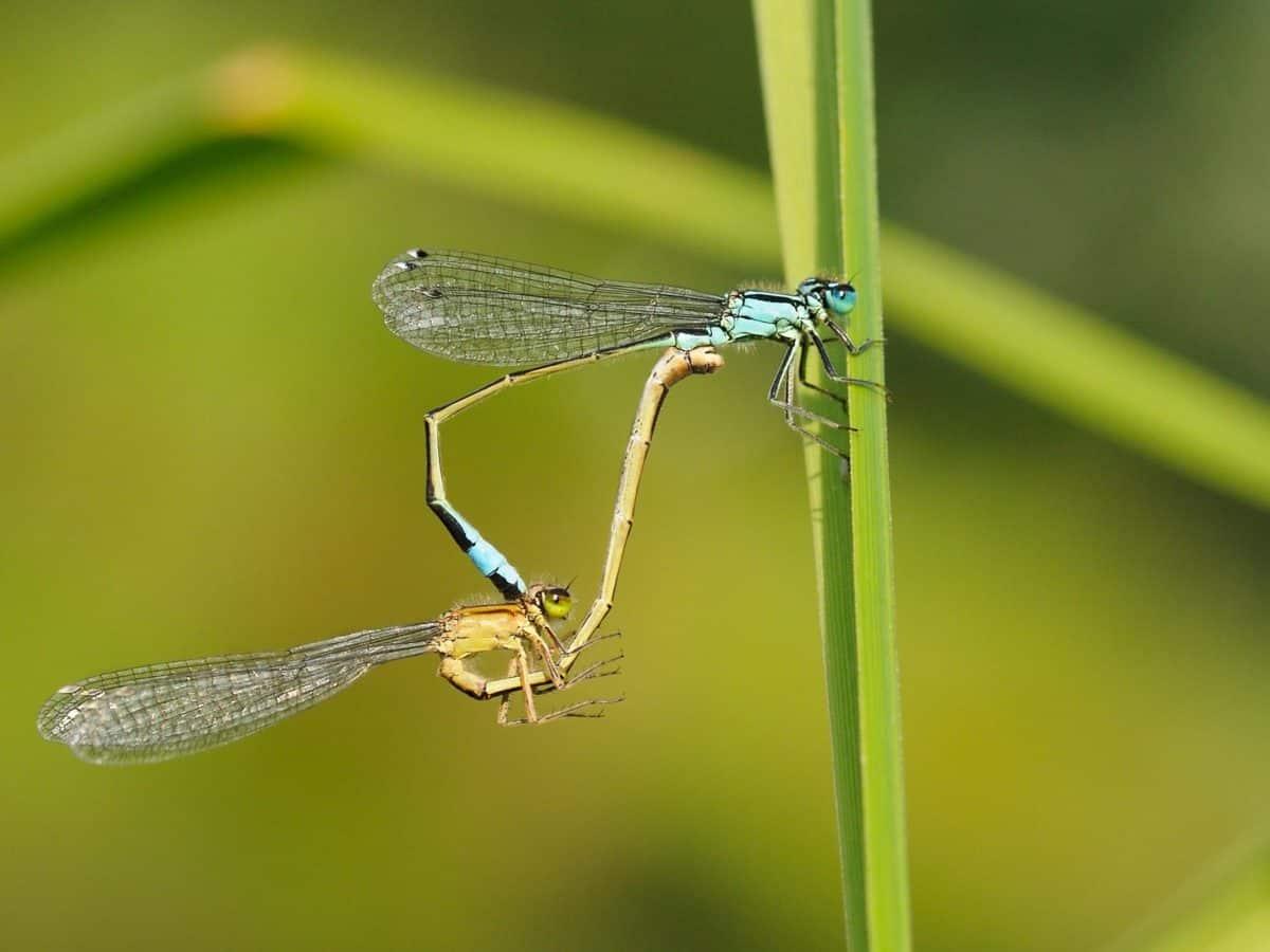 Libellula, natura, insetto, fauna selvatica, artropodi, invertebrati marini
