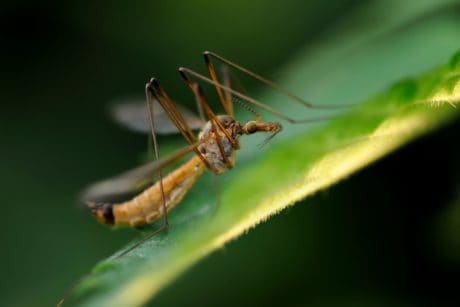 invertebrate, insect, nature, wildlife, mosquito, arthropod