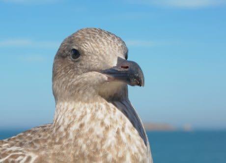 Чайка, птица, дивата природа, природа, вода, синьо небе, открито, животните