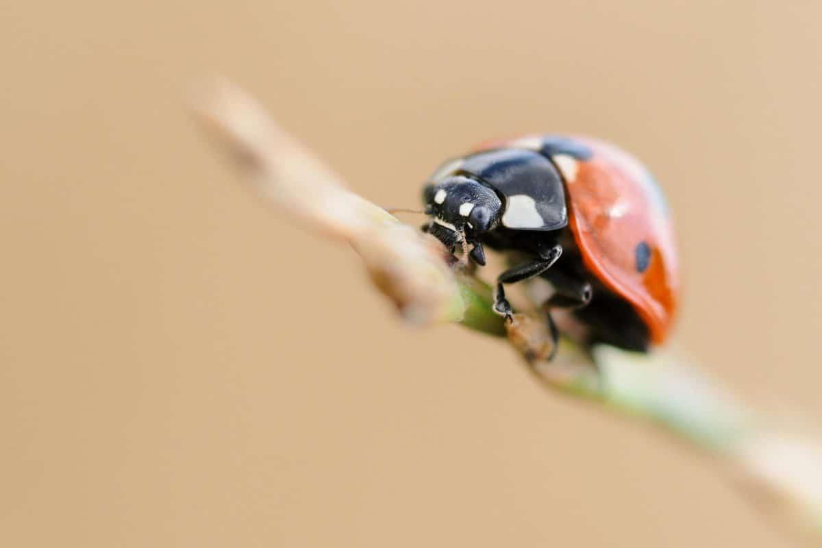 coccinelle, insecte, bogue, plante, jardin, été, détail