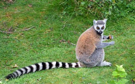 lemure, fauna selvatica, pelliccia, sveglio, della natura, animale