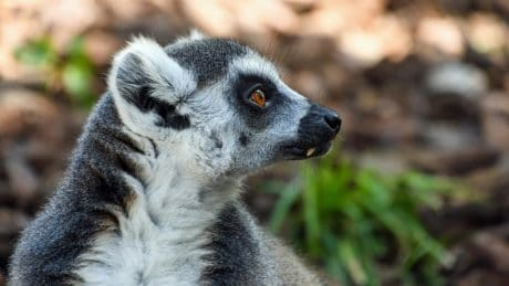 fur, animal, portrait, cute, wildlife, lemur, nature