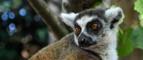 mignonne, animale, faune, nature, fourrure, lémurien