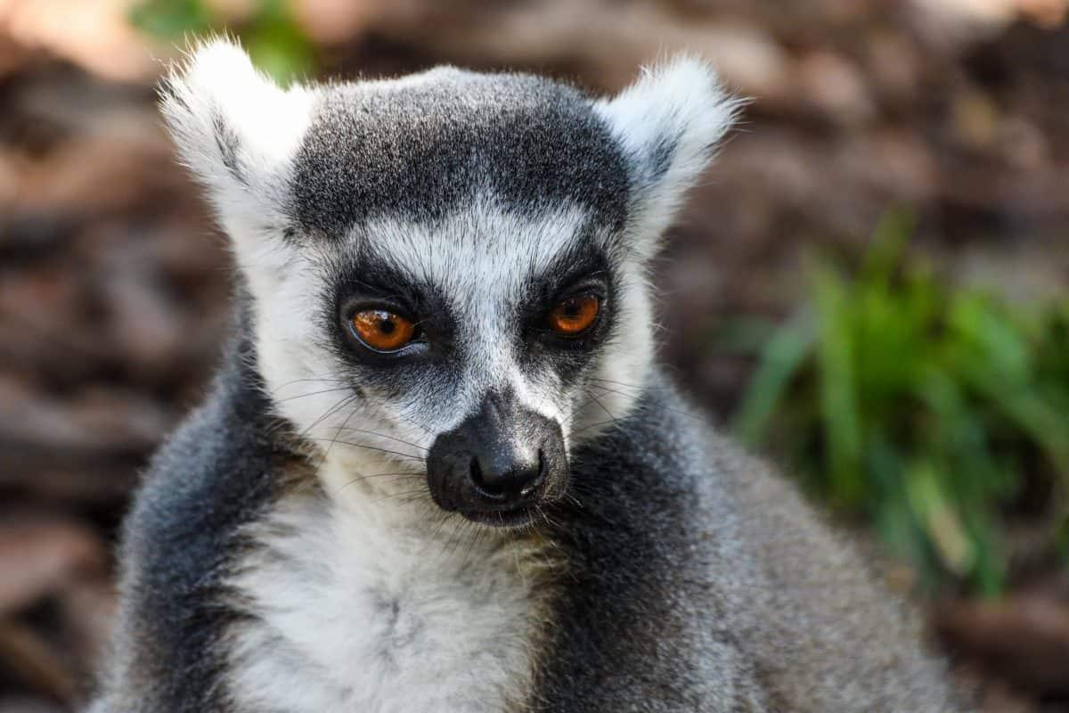 lémurien, Madagascar, portrait, nature, faune, animaux