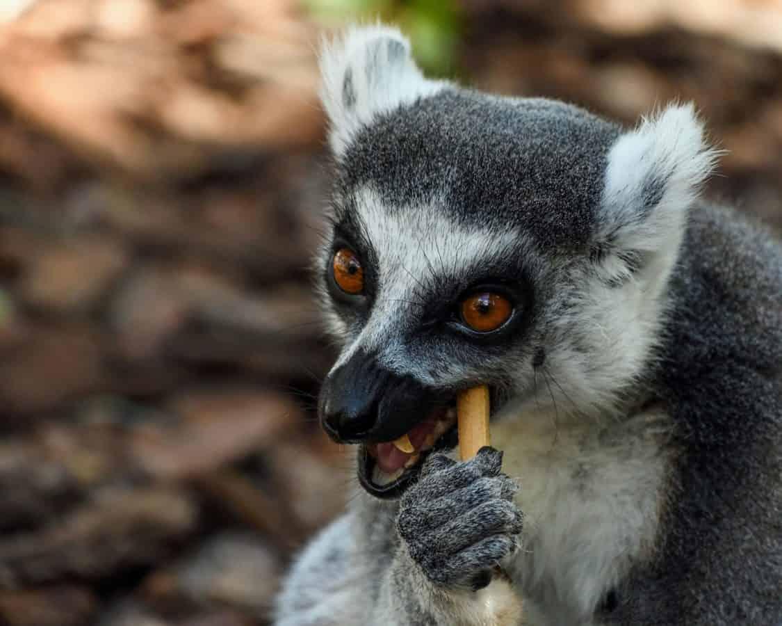 животните, дивата природа, лемур Мадагаскар, примати, сладък, портрет