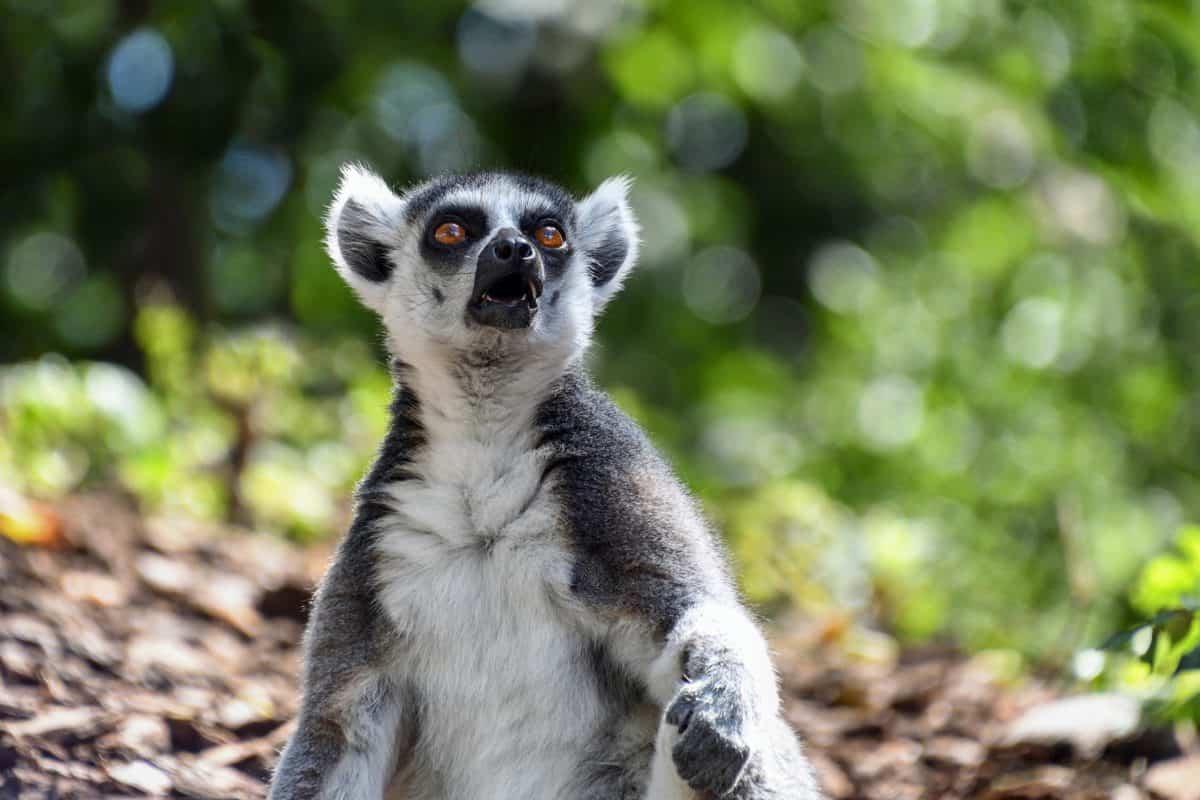 natura, fauna, animale, albero, all'aperto, lemure, foresta pluviale