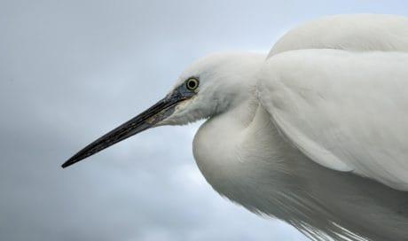 pájaro de la Garza, fauna silvestre, plumas de animales, al aire libre,