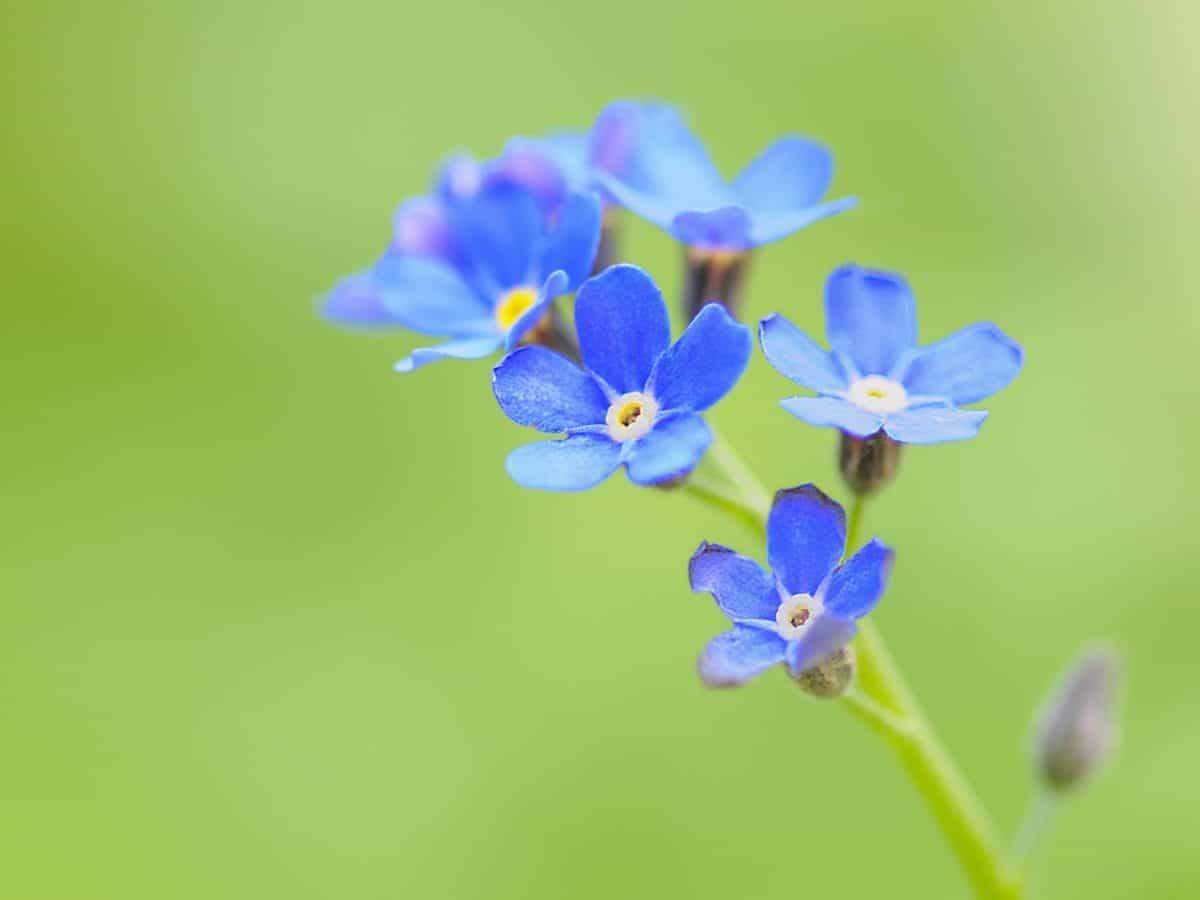 flor azul, natureza, flores silvestres, planta, planta, verão