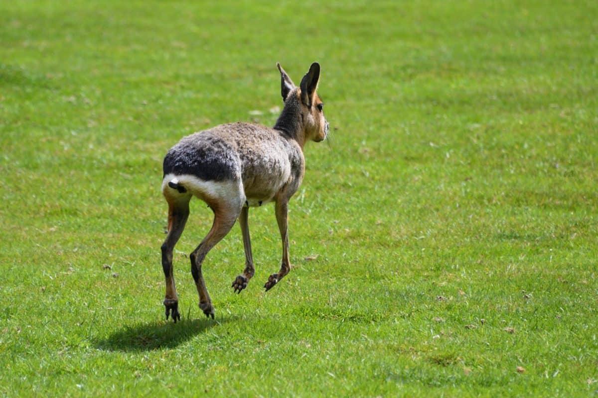 животните, зелена трева, Открит, полето скок