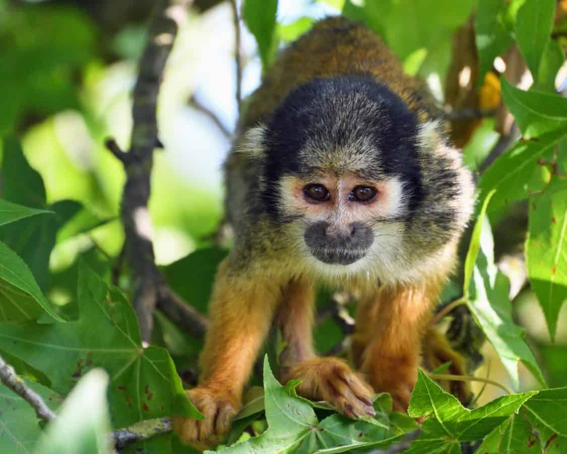 ζούγκλα, των ζώων, πρωτευόντων, πίθηκος, τροπικό δάσος, Χαριτωμένος, άγρια ζωή