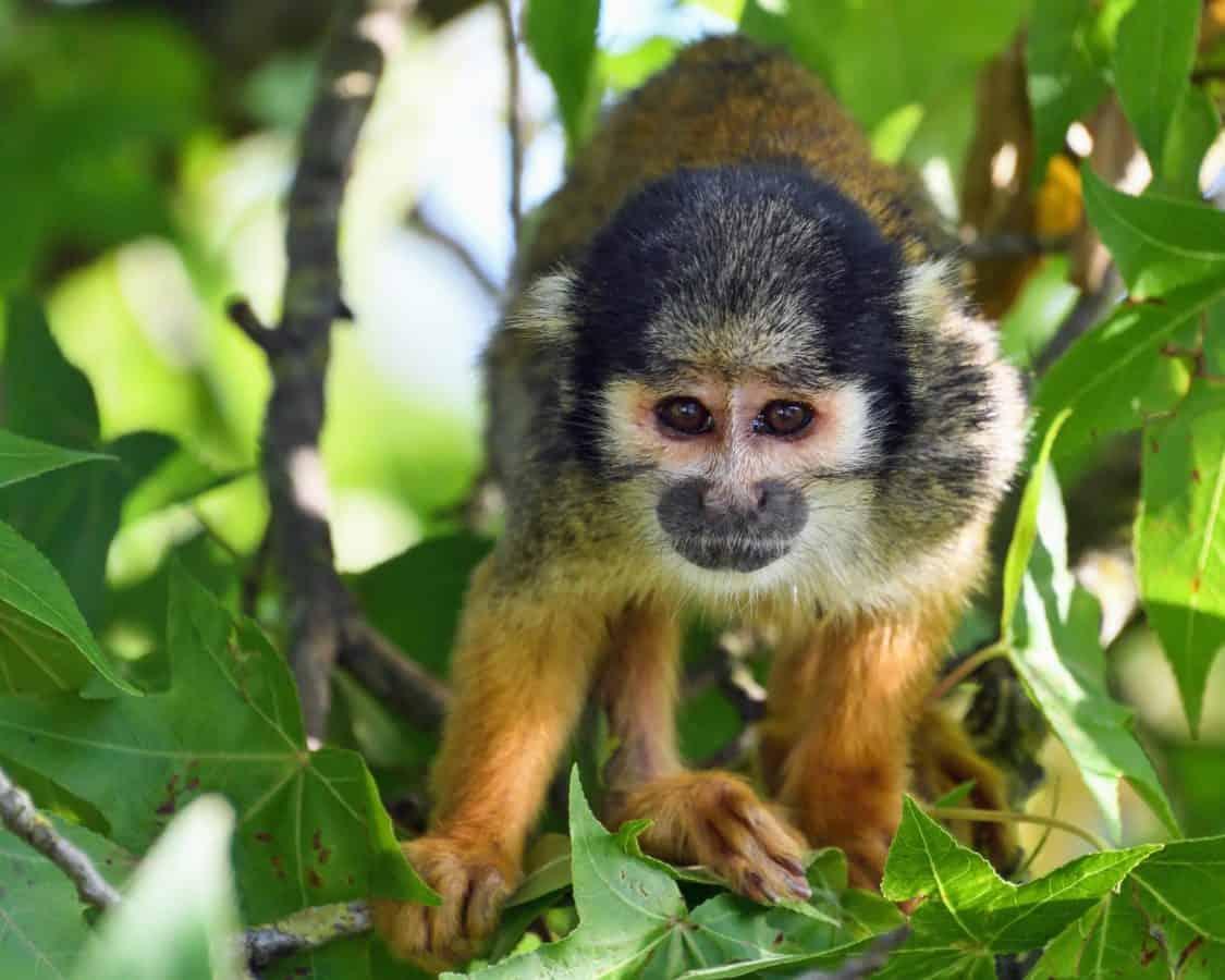 jungle, abe, animal, primat, regnskov, sød, dyreliv