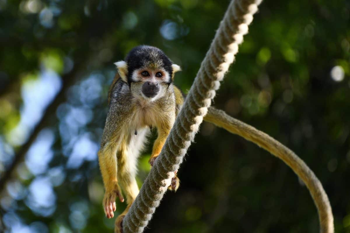 nature, primate, wildlife, monkey, rope, outdoor, animal