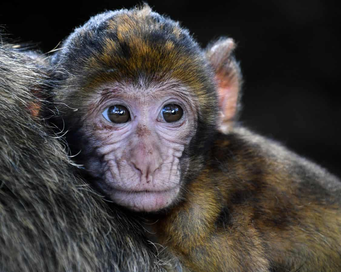 macaco, animais selvagens, primata, retrato, cute, animal, macaco