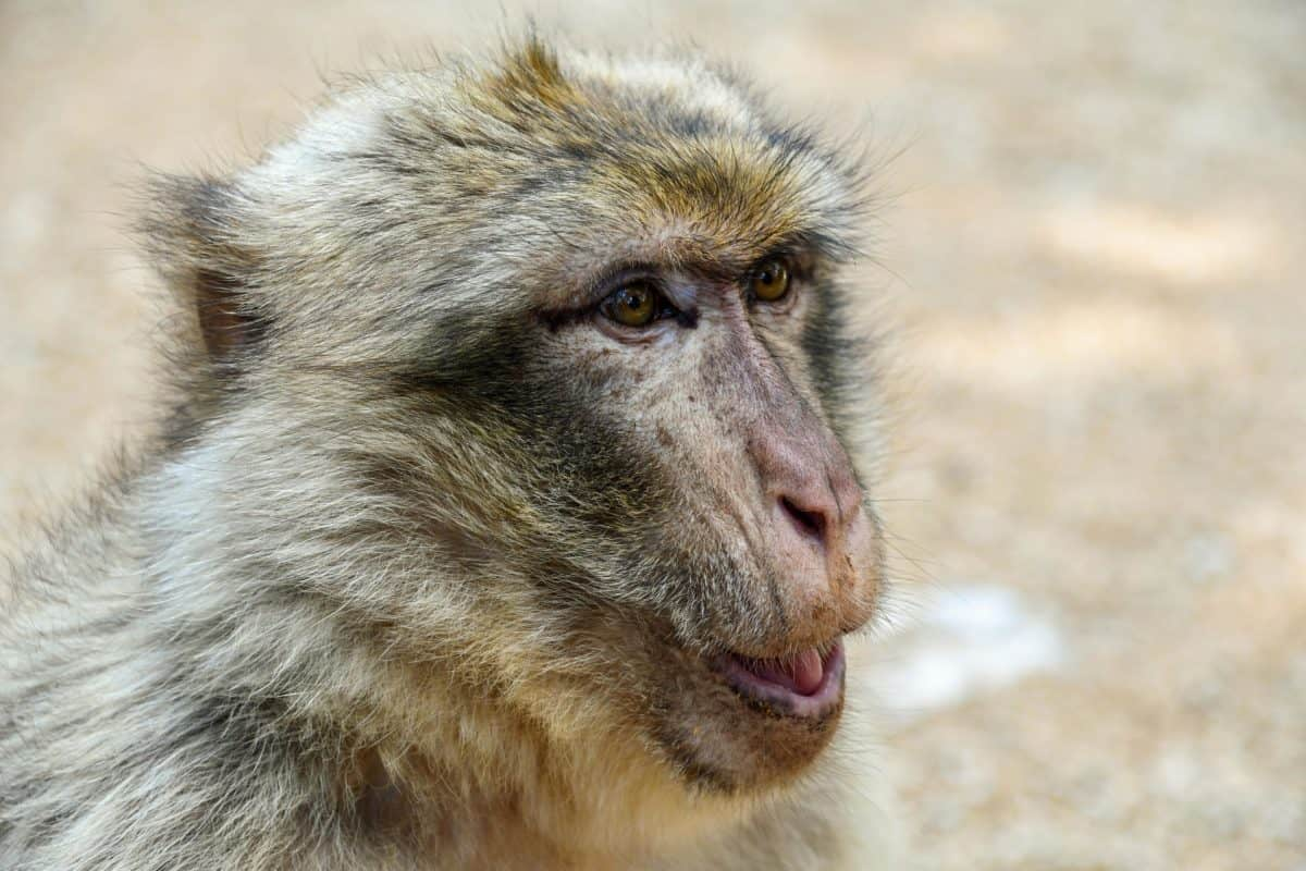 wildlife, animal, monkey, primate, portrait, wild, nature, fur