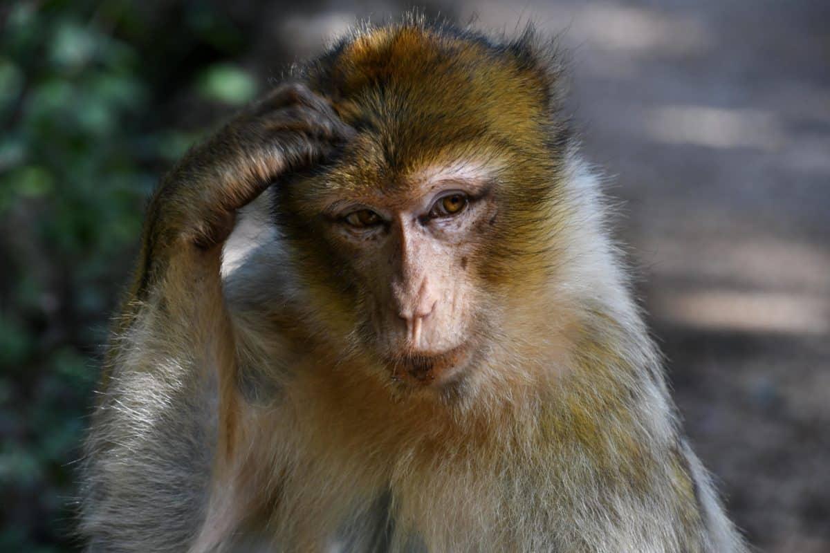 singe, fourrure, animaux, portrait, nature, faune sauvage, mignonne, primate