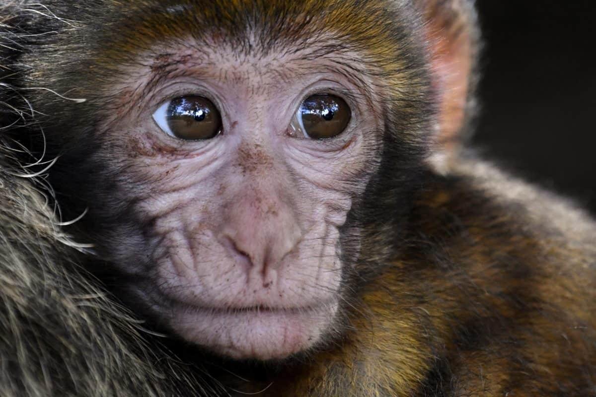 singe, sauvage, la faune, portrait, yeux, nez, animal, primate, fourrure