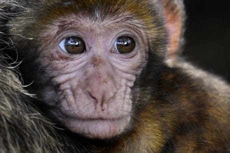 monkey, wild, wildlife, portrait, eye, nose, animal, primate, fur