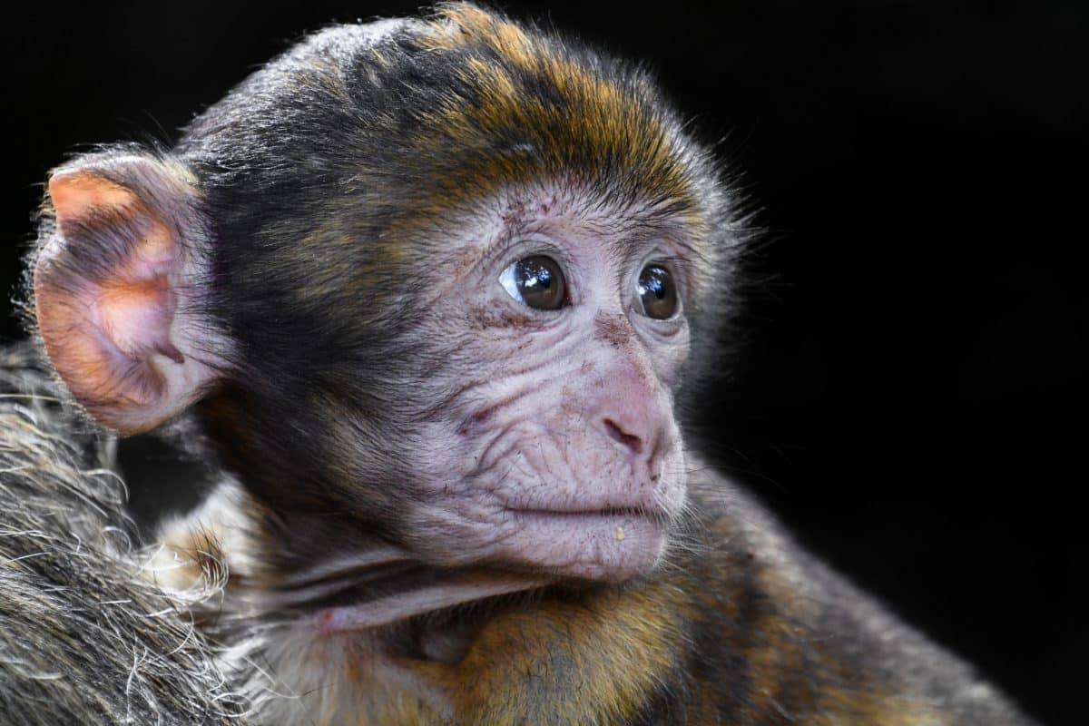 vida silvestre, Linda, primate, salvaje, animal, mono, cabeza, ojo