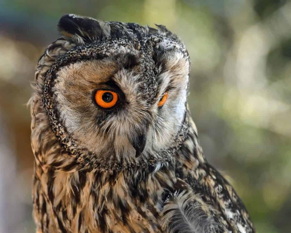 naturaleza, salvaje, vida silvestre, pájaro, animal, depredador, buho