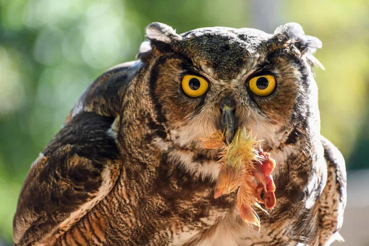 Auge, Wild, Tier, Natur, Tiere, Vogel, Eule, im freien