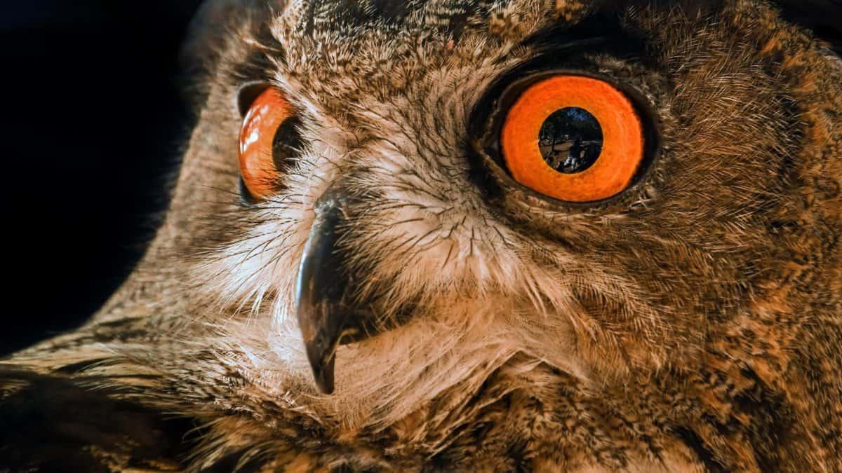 очната ябълка, бухал, перо, животно, птица, дивата природа, портрет, око