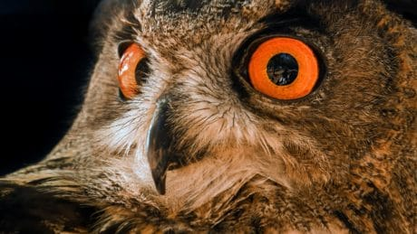 eyeball, owl, feather, animal, bird, wildlife, portrait, eye