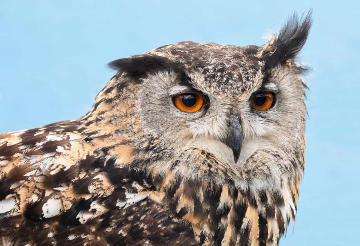natura, uccello, gufo, selvatico, fauna, animale