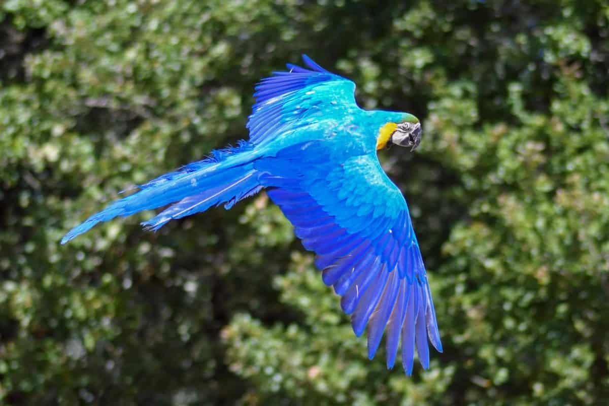 Loro guacamayo, vuelo, naturaleza, pájaro, árbol, animal, al aire libre