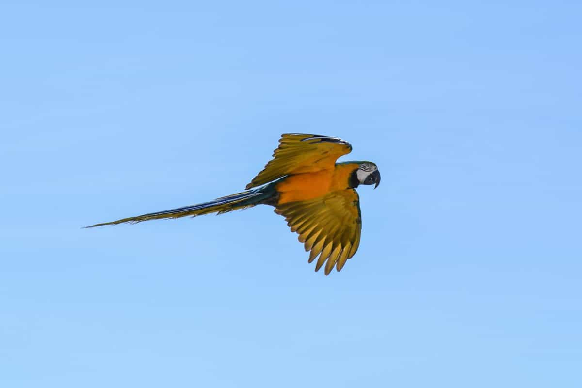 perroquet Ara, ciel bleu, vol, la faune, oiseau, bec, animal, en plein air