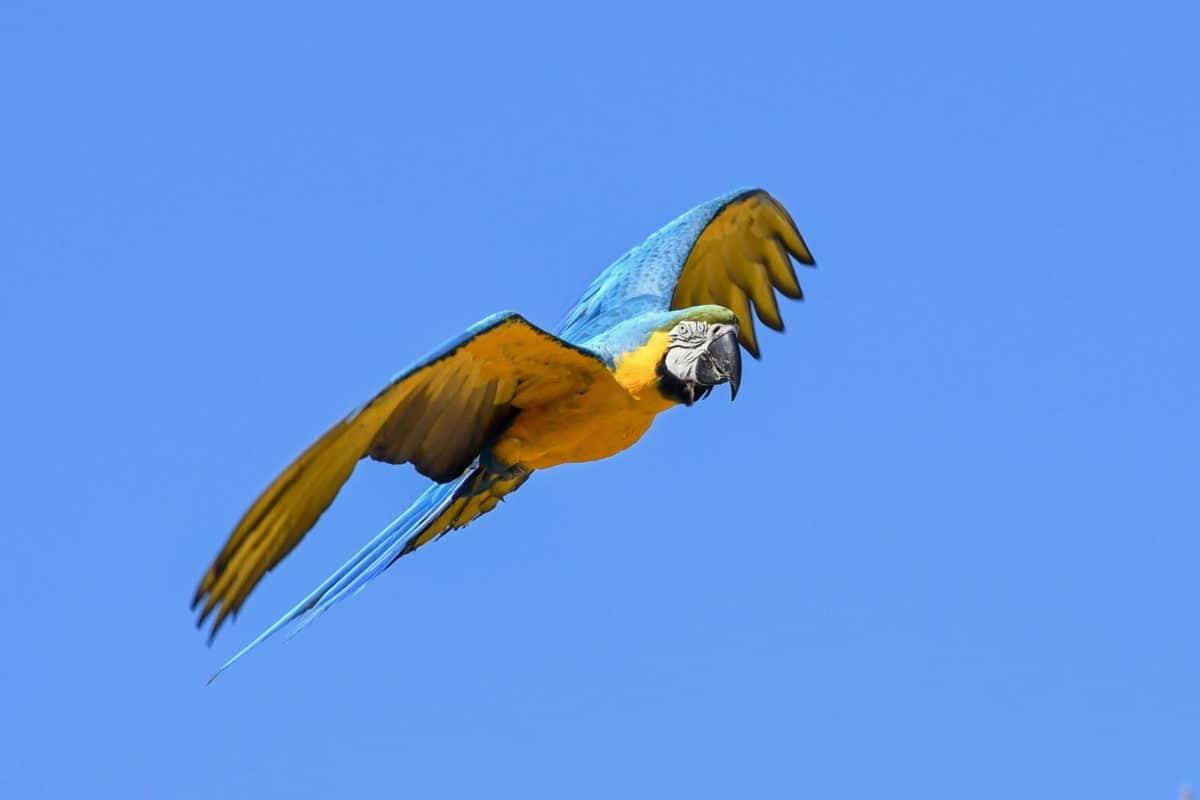 flight, bird, sky, outdoor, animal, macaw parrot