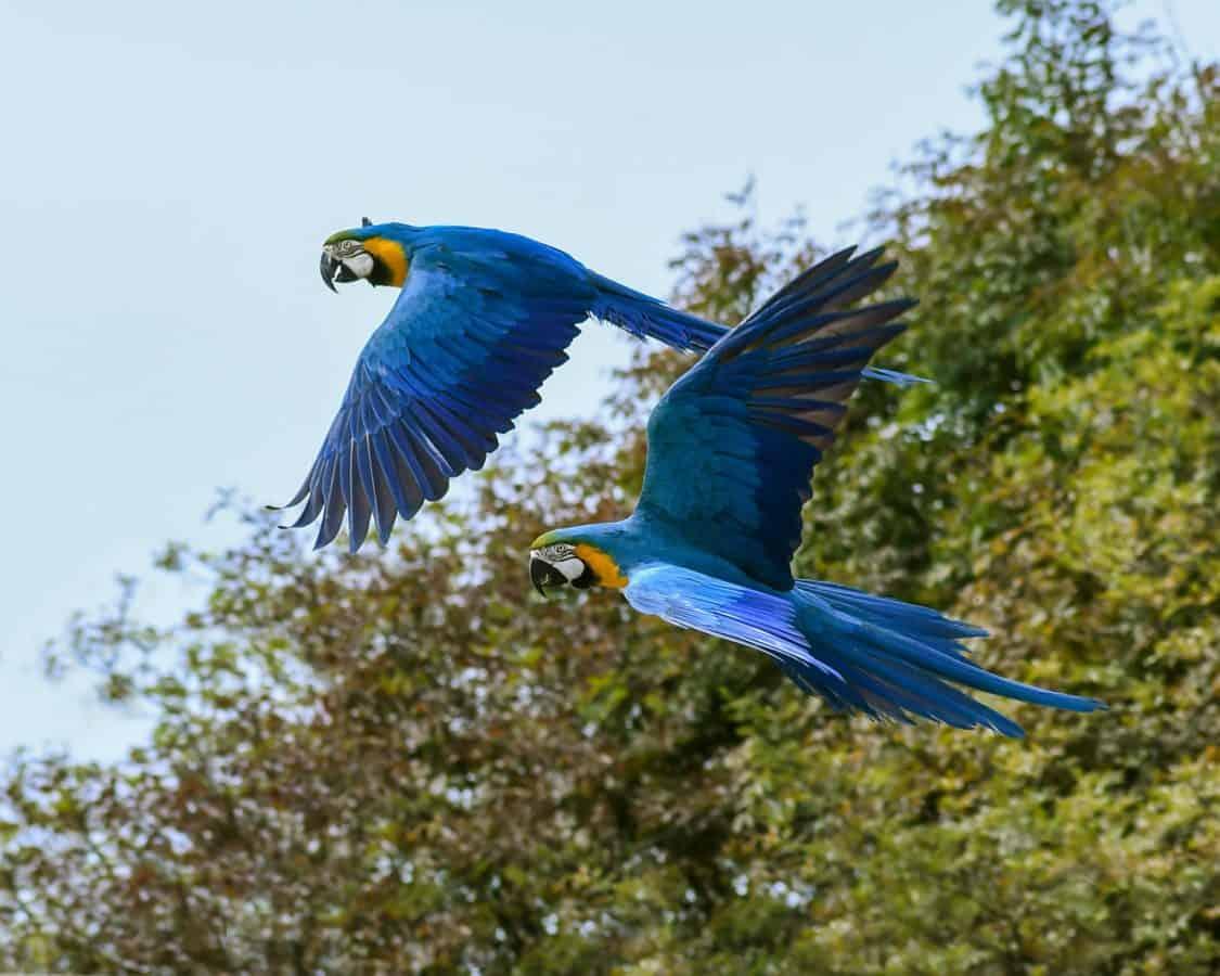 prírody, zvierat, papagáj Ara, divoké, vták, voľne žijúcich živočíchov, vtáčia, peria, zobák