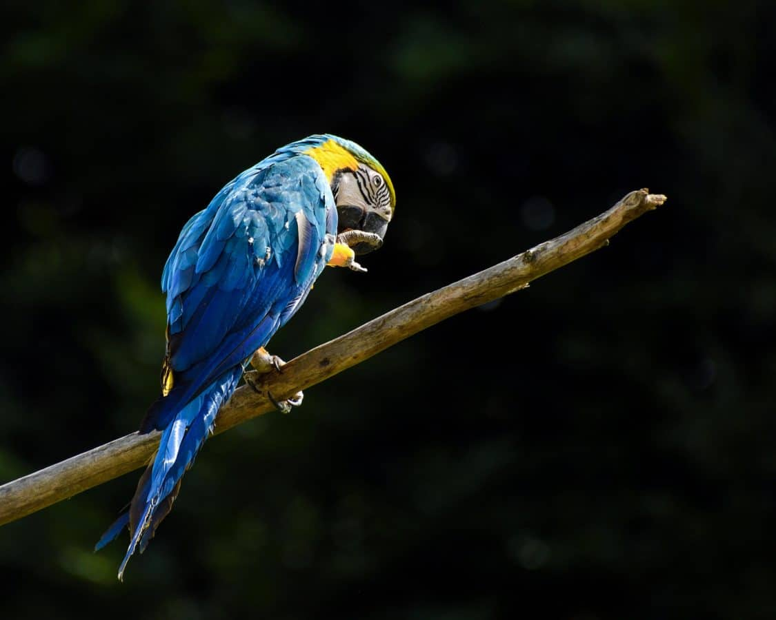 pappagallo del Macaw, natura, uccelli, becco, fauna selvatica, piuma, animale