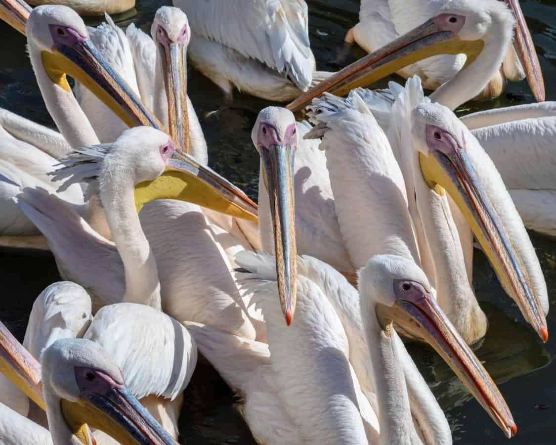 клюн, животински, птица, пеликан, дивата природа, природа, Велики, перо