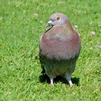pigeon, beak, nature, dove, animal, bird, wildlife, wild, grass, outdoor