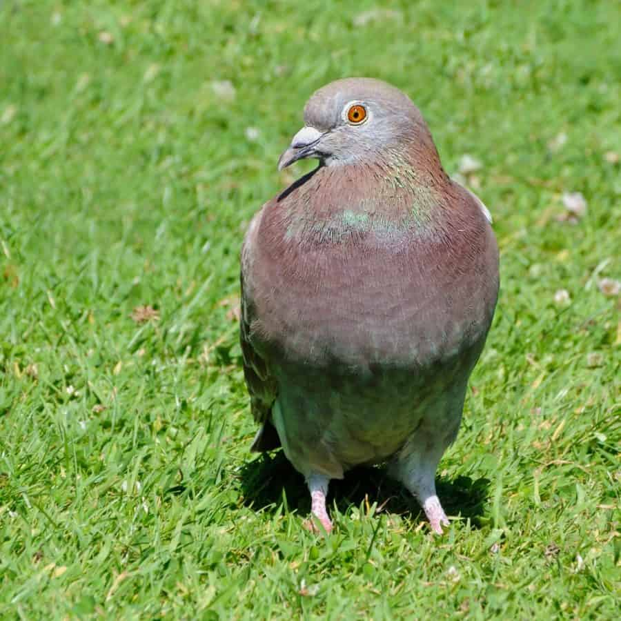 Pigeon, bec, nature, Colombe, animaux, oiseaux, faune, sauvage, herbe, en plein air