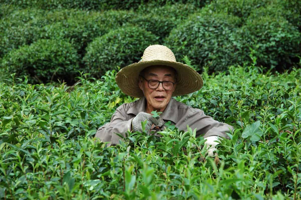 листа, природа, земеделски производител, лице, трева, чай, лято, Открит