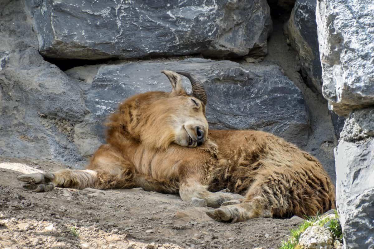 wild goat, mountain goat, wildlife, nature, animal, outdoor, ground