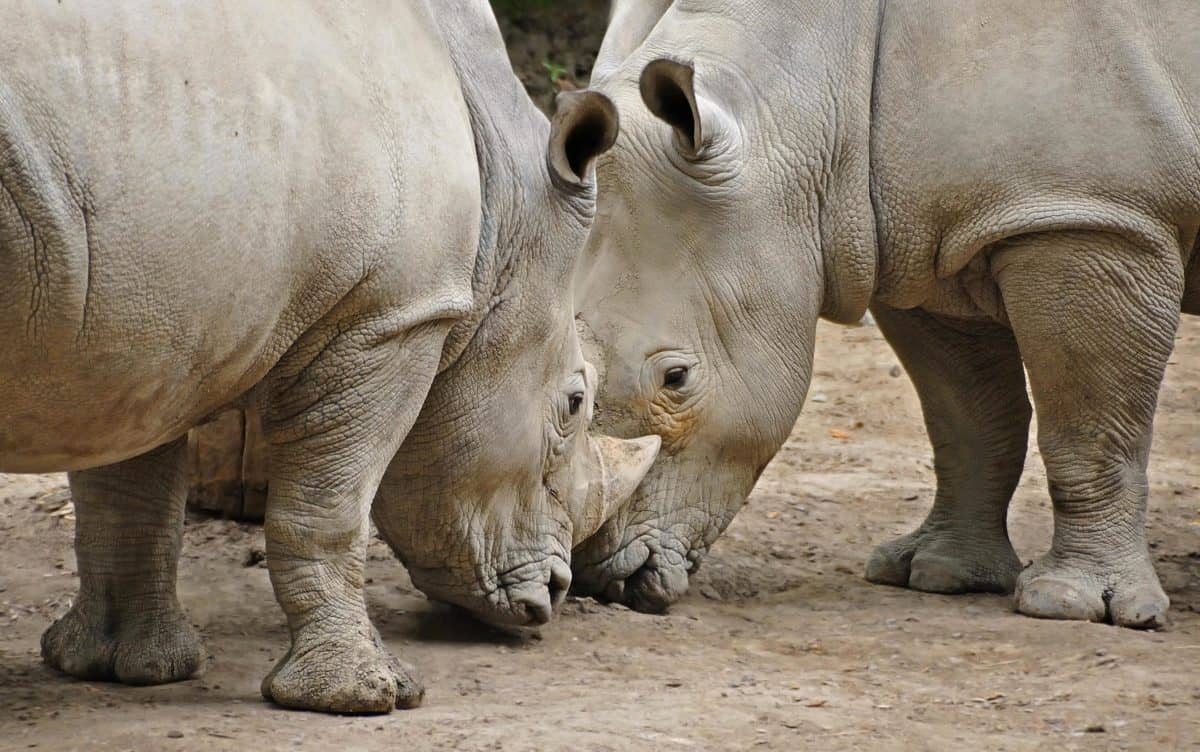 Africa, rhinoceros, safari, wildlife, safari, wild, animal