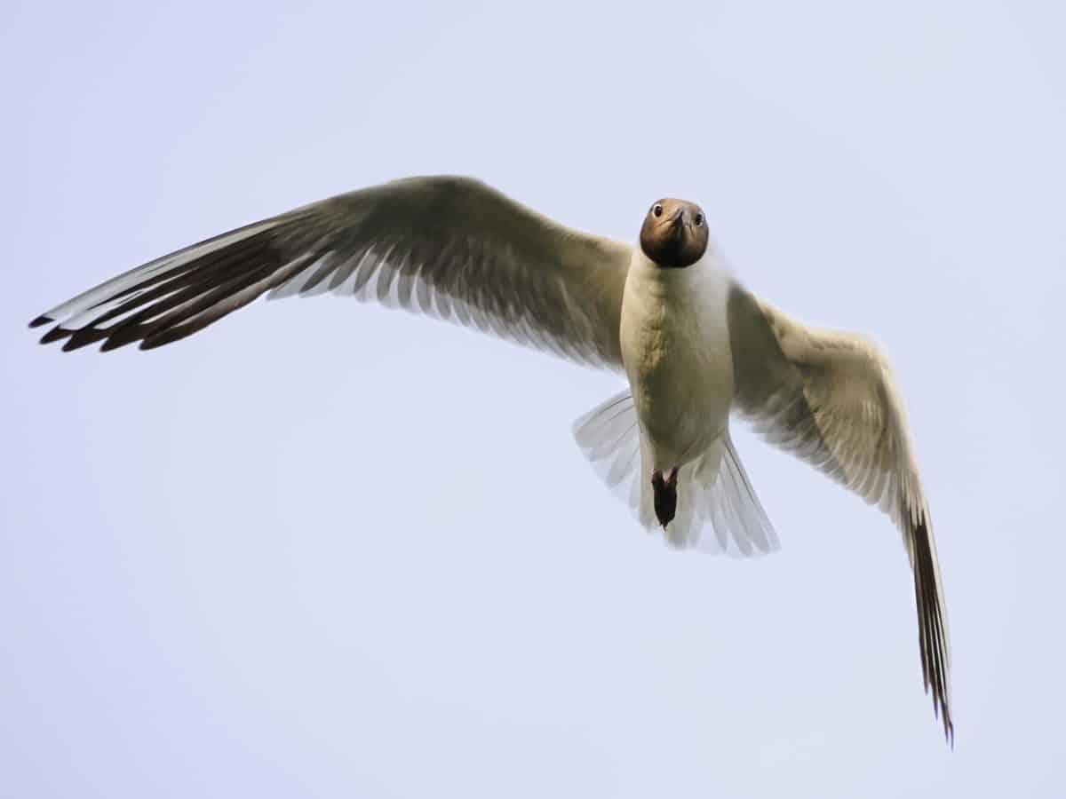 fauna selvatica, volo, animale, uccello, piuma, cielo blu, ornitologia