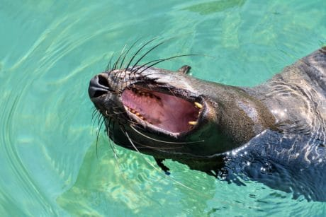otter, water, fur, mouth, tongue, teeth, animal, wildlife, nature