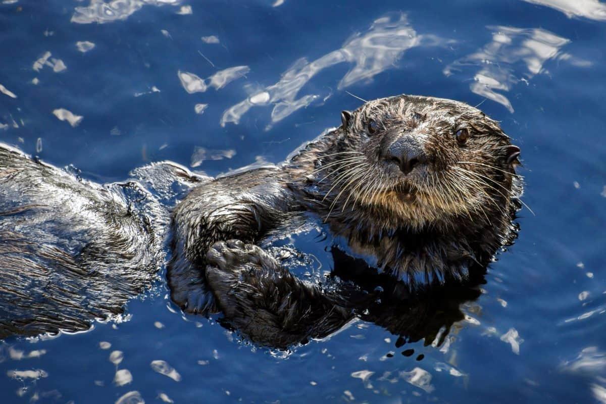 видра, природа, студ, отражение, синьо, вода, открито, животно