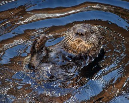 animal, wildlife, otter, nature, water, outdoor
