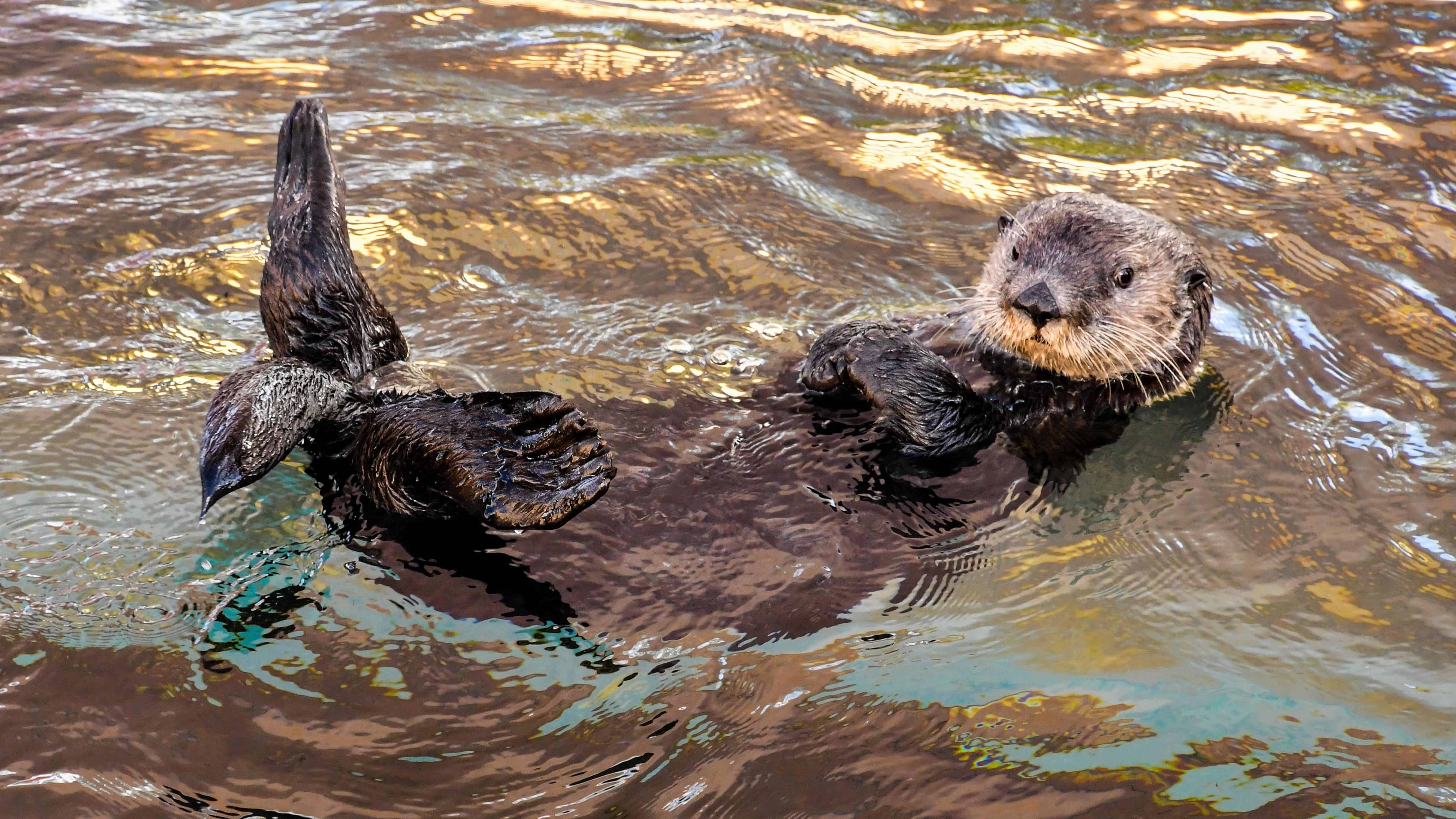 Kostenlose Bild: Tier, Wasser, braune Otter, Natur, Tierwelt, im freien