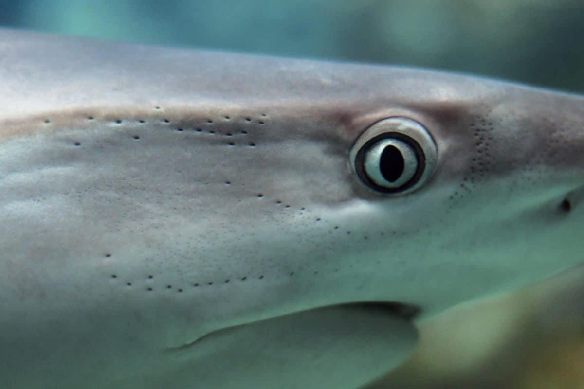 depredador, peces, vida silvestre, agua, tiburones, agua, naturaleza