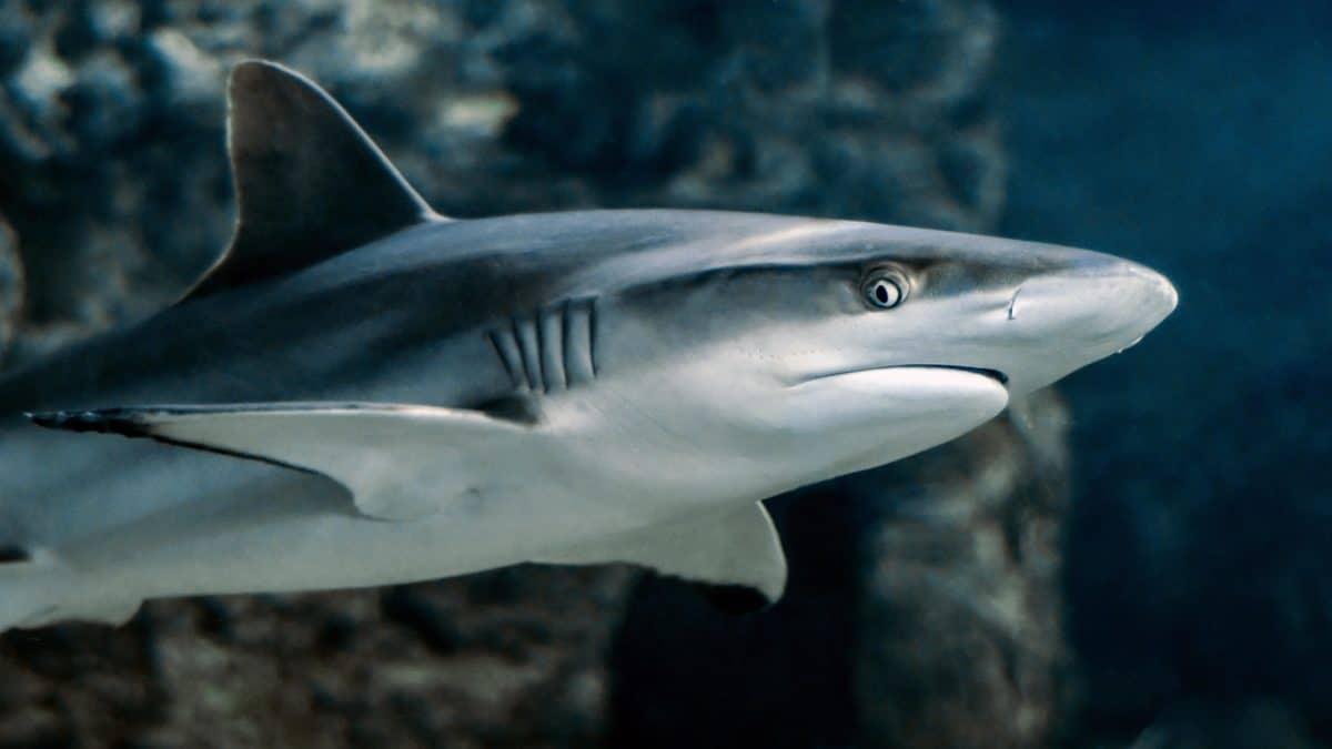 voda, grabežljivac, pod vodom, mora, oceana, morski pas, ribe, divljači