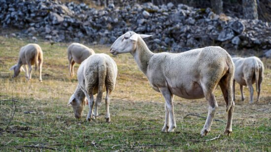 field, nature, animal, sheep, agriculture, livestock, grass, outdoor